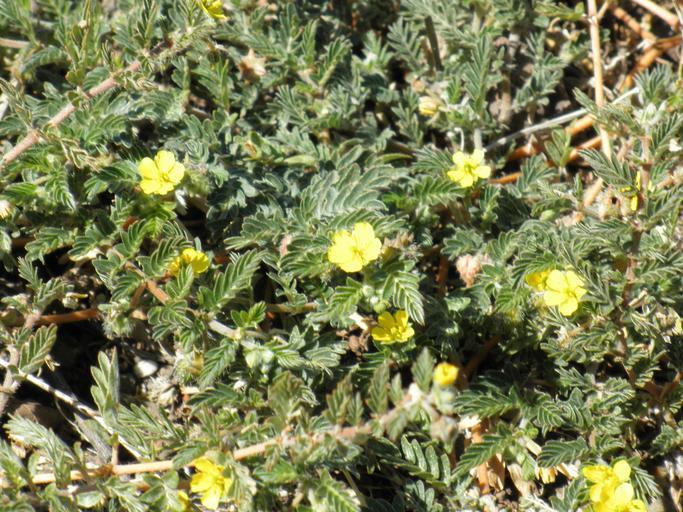 kotvičník – rostlinka