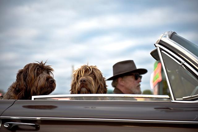 muž se dvěma psy jede na výlet autem.jpg